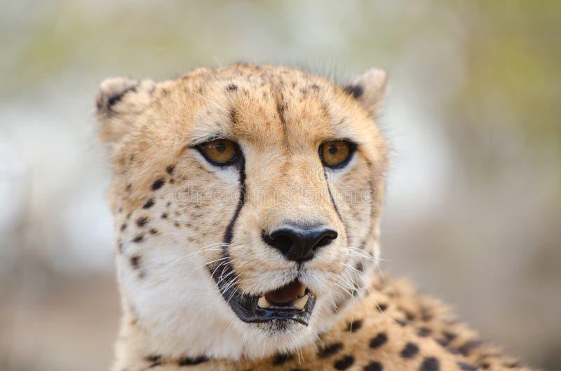 Het Portret van het jachtluipaardgezicht, in een Savanne van Zuid-Afrika, het Nationale Park van Kruger royalty-vrije stock foto's