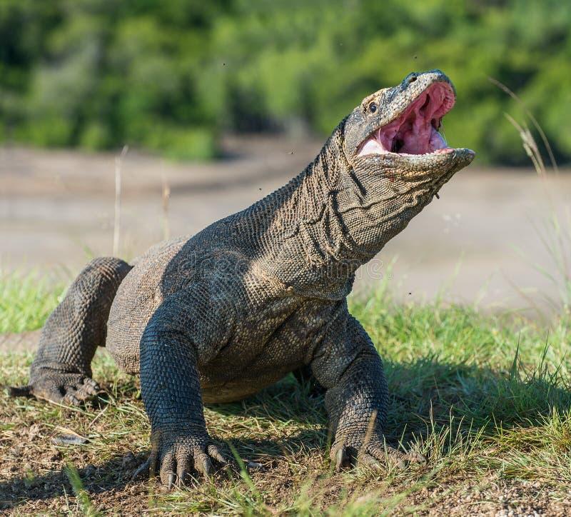 Het Portret van Komodo-komodoensis van draakvaranus met opende een mond stock afbeelding