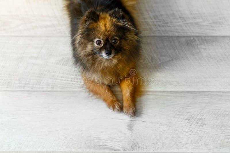 Het portret van leuke kleine hondspitz zit op de vloer, ruimte voor tekst of artikel Hoogste mening stock afbeeldingen