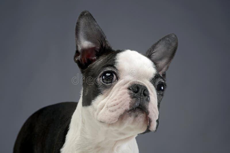 Het portret van puppyboston Terrier in een grijze fotostudio royalty-vrije stock foto's
