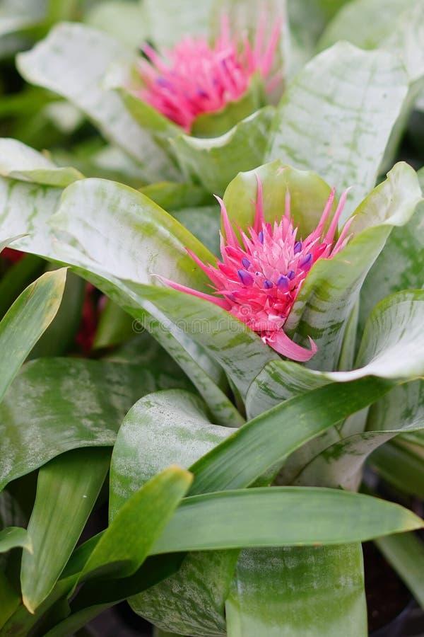 Het portret van roze Tillandsia-recurvifolia (Luchtinstallatie) bloem in bloei stock fotografie