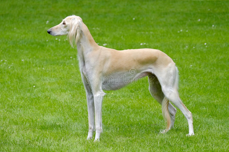 Het portret van Saluki-hond royalty-vrije stock foto's