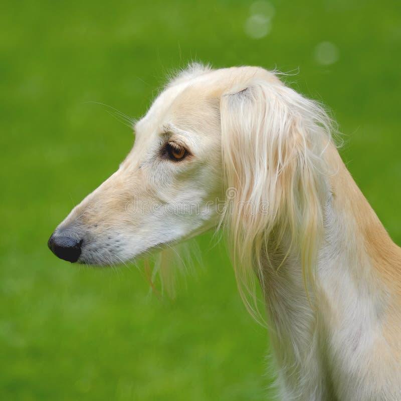 Het portret van Saluki-hond op een groen grasgazon stock afbeelding