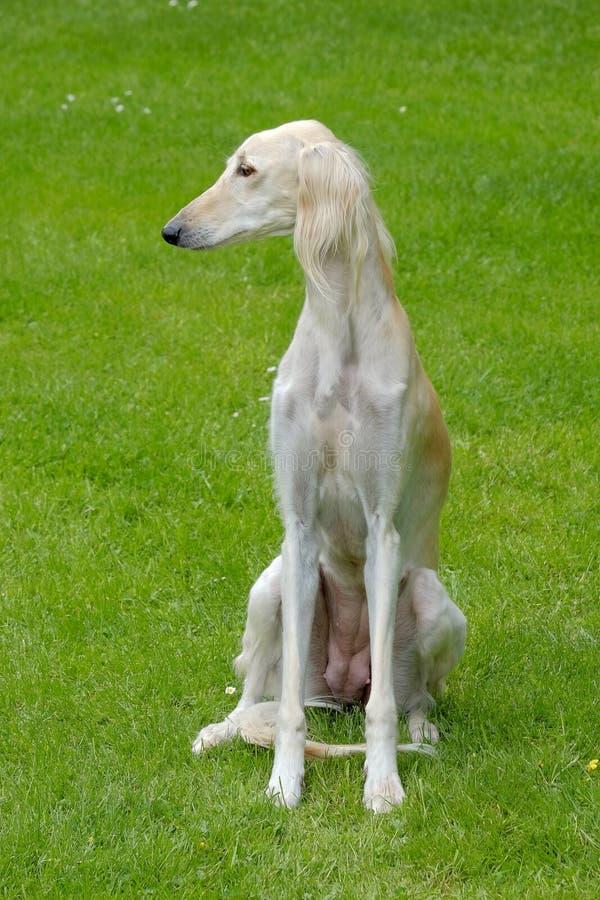 Het portret van Saluki-hond op een groen grasgazon stock afbeeldingen