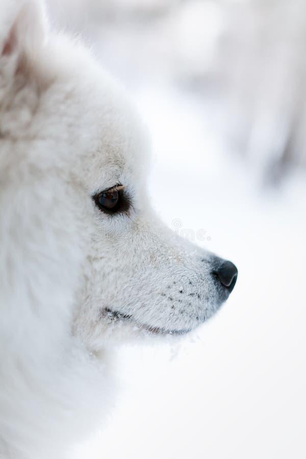 Het portret van samoed hond in de winter stock afbeelding