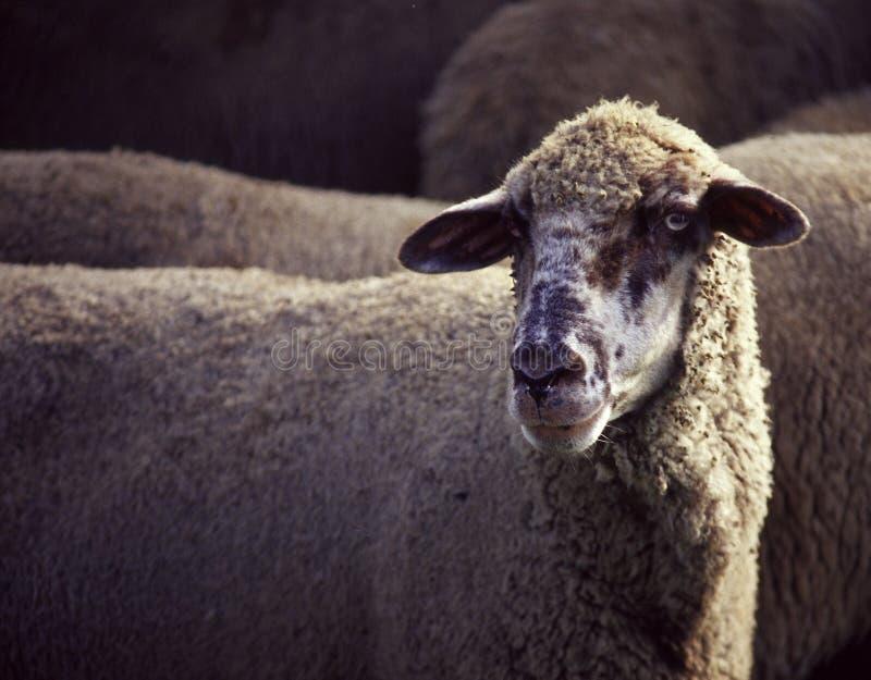 Het portret van schapen stock foto's