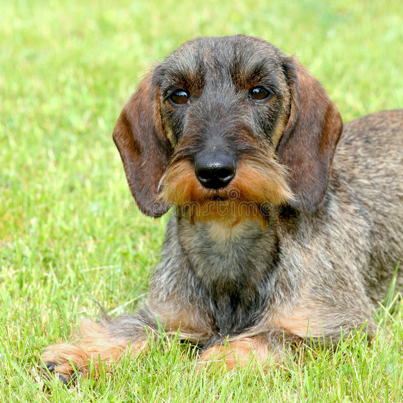 Het portret van Tekkel Wire-haired hond stock afbeelding