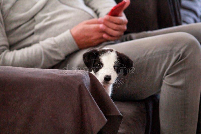 Het portret van weinig puppy de vrouwelijke hond in bed, laag en bank voor fotospruit stelt, sluit omhoog Klein zwart wit gemengd stock fotografie