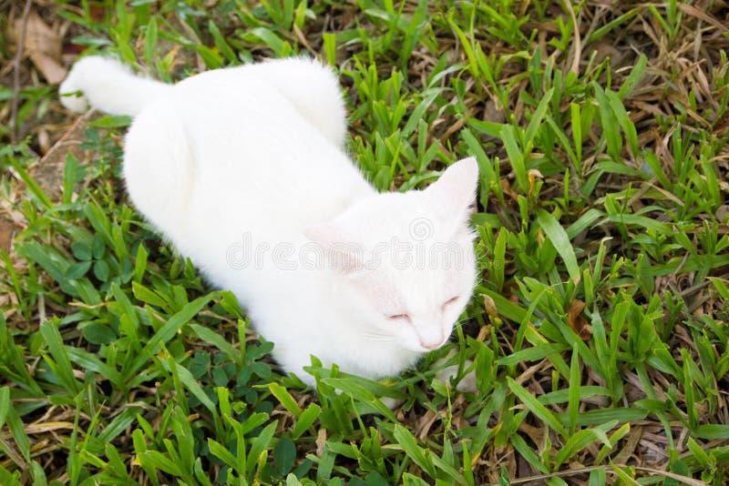 Het Portret van Witte Kleur Thaise Cat With 2 Verschillend Gekleurd E stock foto's