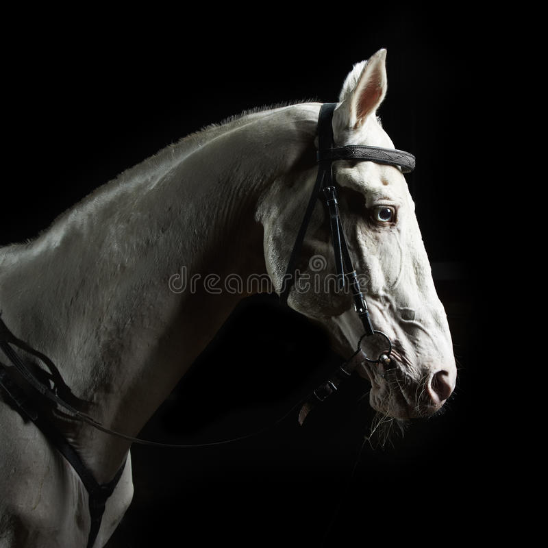Het portret wit paard van de close-up in dark royalty-vrije stock fotografie