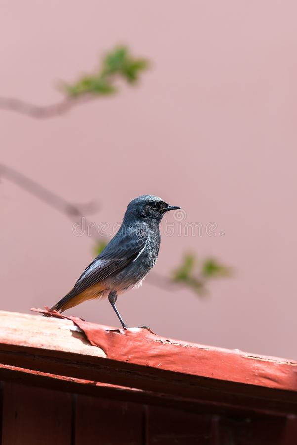 Het portretod van Nice redstart kleine vogel die op versleten houten plank zit stock foto's
