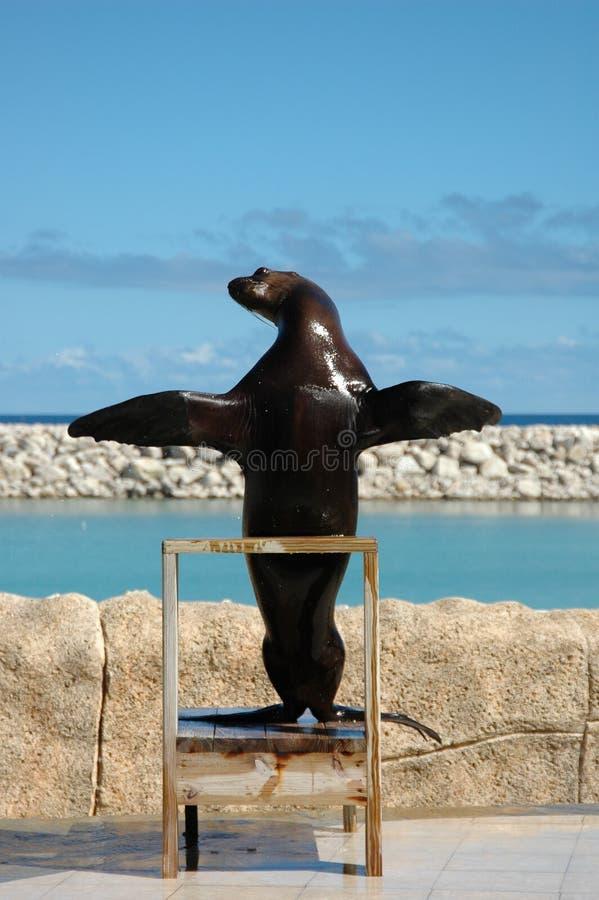 Het prediken Zeeleeuw stock foto