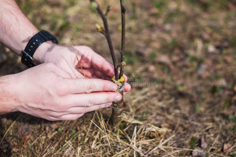 Het proces om bomen in de tuin te enten stock foto's
