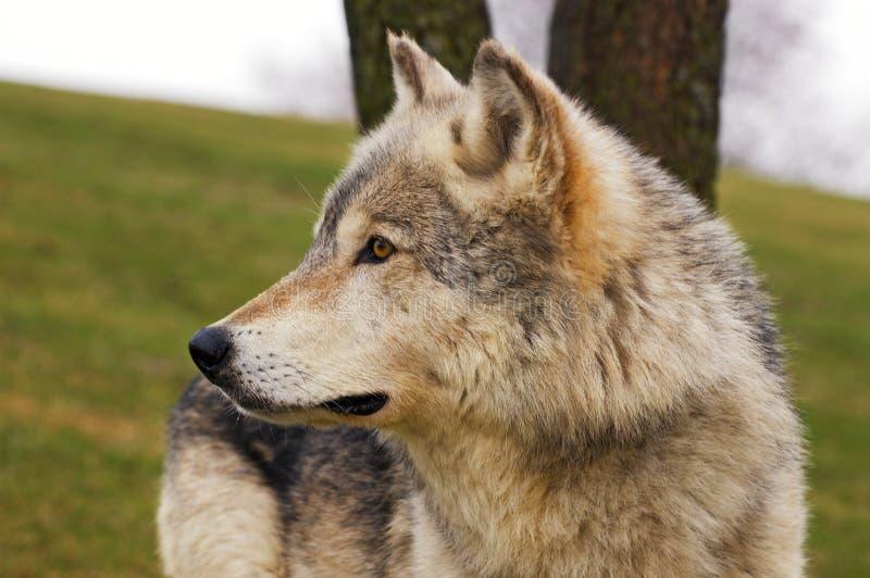 Het Profiel van de Wolf van het hout royalty-vrije stock foto