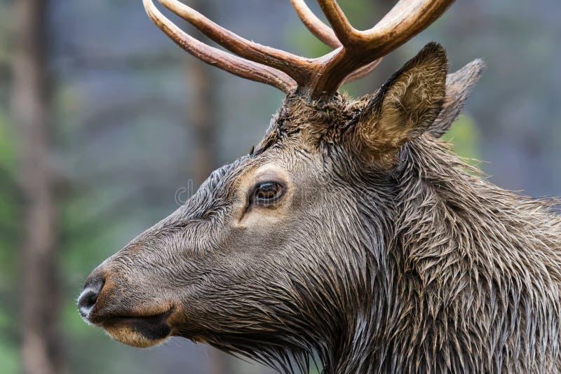Het Profiel van stierenelanden royalty-vrije stock foto