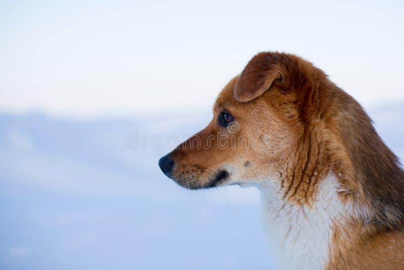 Het profielportret van prideful rode niet rasechte hond is op de sneeuw op de bevroren overzeese achtergrond royalty-vrije stock afbeelding