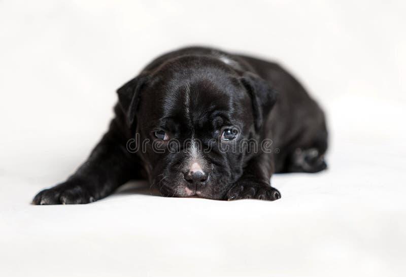 Het puppy Amerikaan intimideert stock fotografie