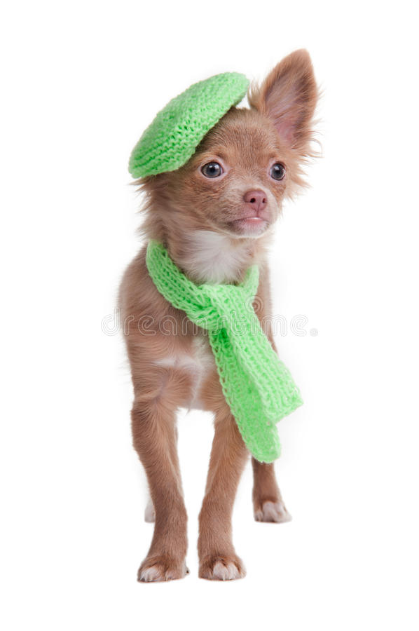 Het puppy dat van Chihuahua baret en sjaal draagt stock foto