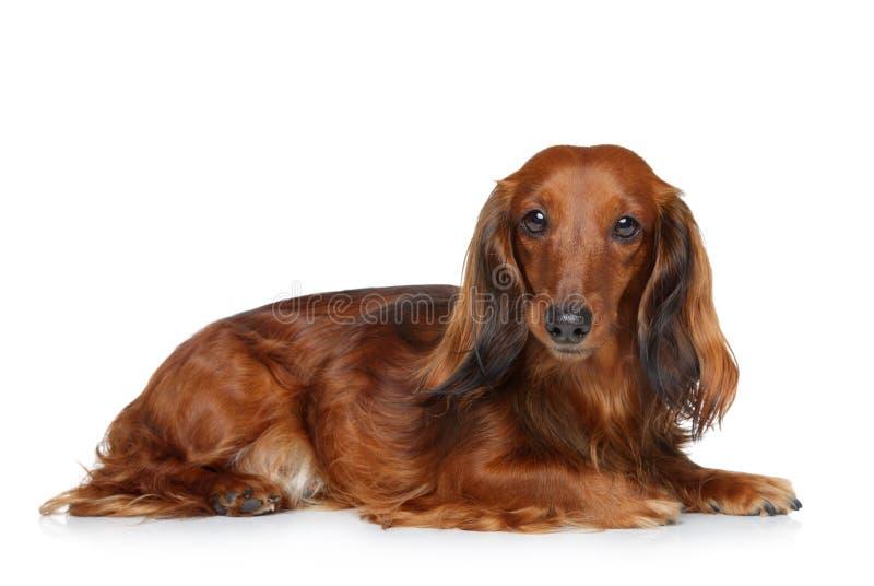 Het puppy dat van de tekkel op een witte achtergrond ligt royalty-vrije stock fotografie