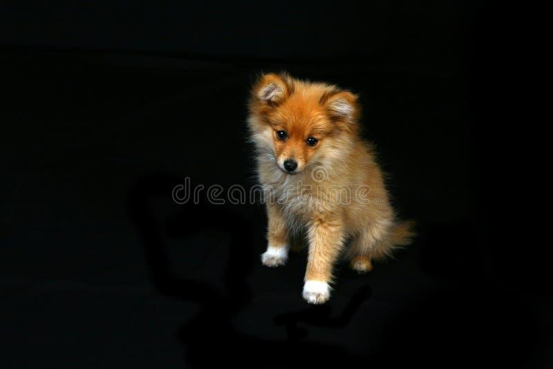 Het Puppy dat van Pomeranian zeer Droevig kijkt royalty-vrije stock afbeeldingen