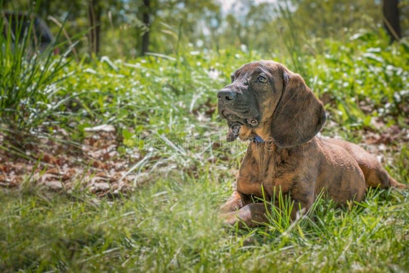 Het puppy die van de Hanoverianhond in het gras leggen stock fotografie