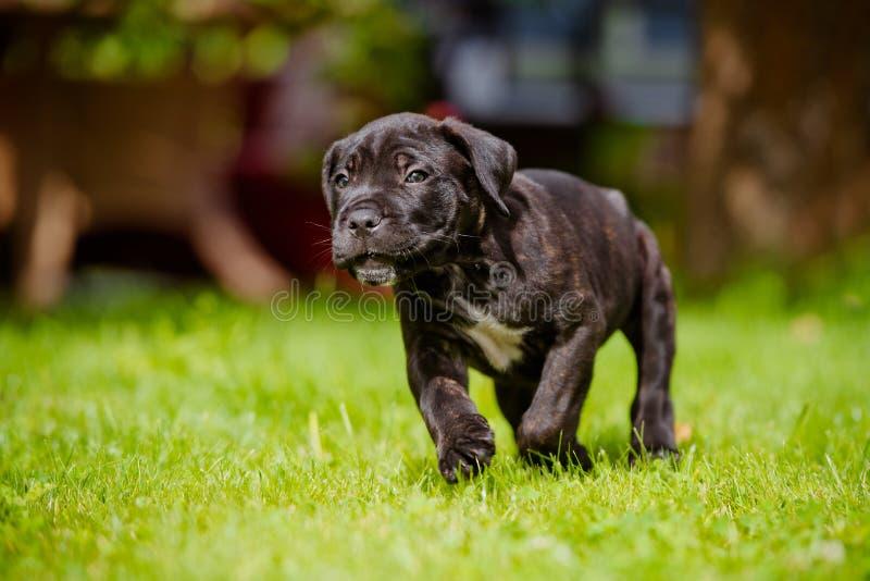 Het puppy die van rietcorso in openlucht lopen royalty-vrije stock fotografie