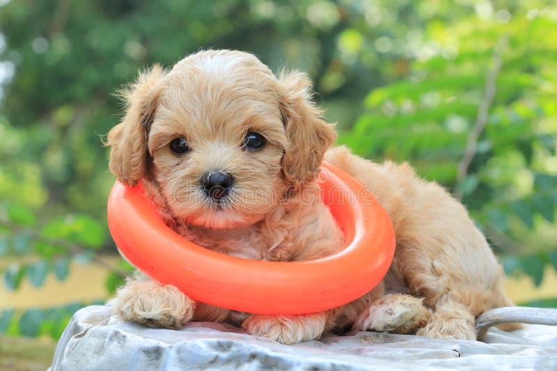 Het puppy en het stuk speelgoed van de poedel stock afbeeldingen