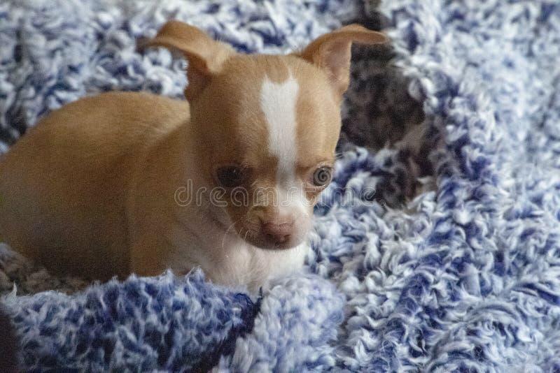 het puppy grijze van 8 week oude mannelijke chihuahua blauwe deken als achtergrond stock foto