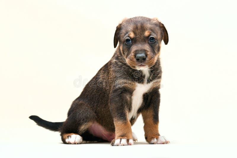 Het Puppy nr 1 van de hond stock afbeelding