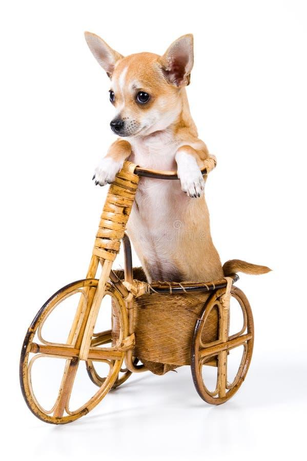 Het puppy op een fiets stock afbeelding