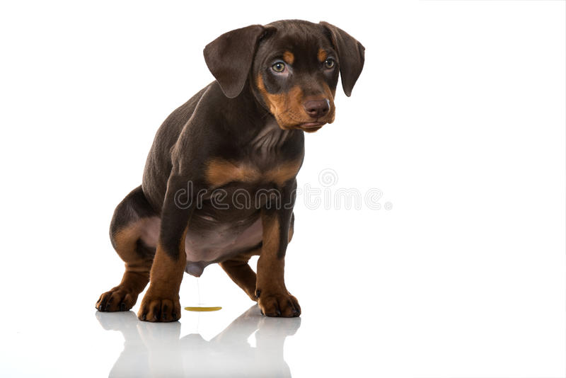 Het puppy plast royalty-vrije stock afbeelding