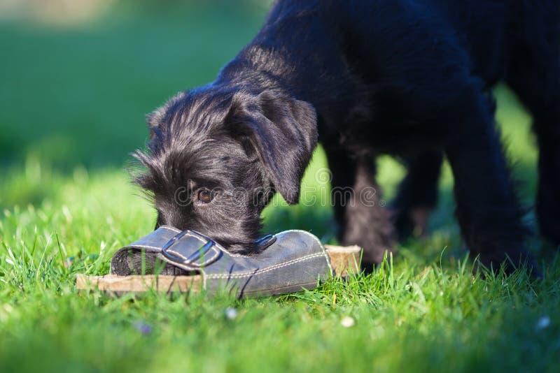 Het puppy speelt met een sandelhout stock foto's