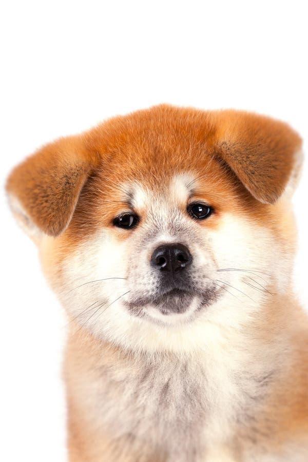 Het puppy van akita-Inu stock afbeelding