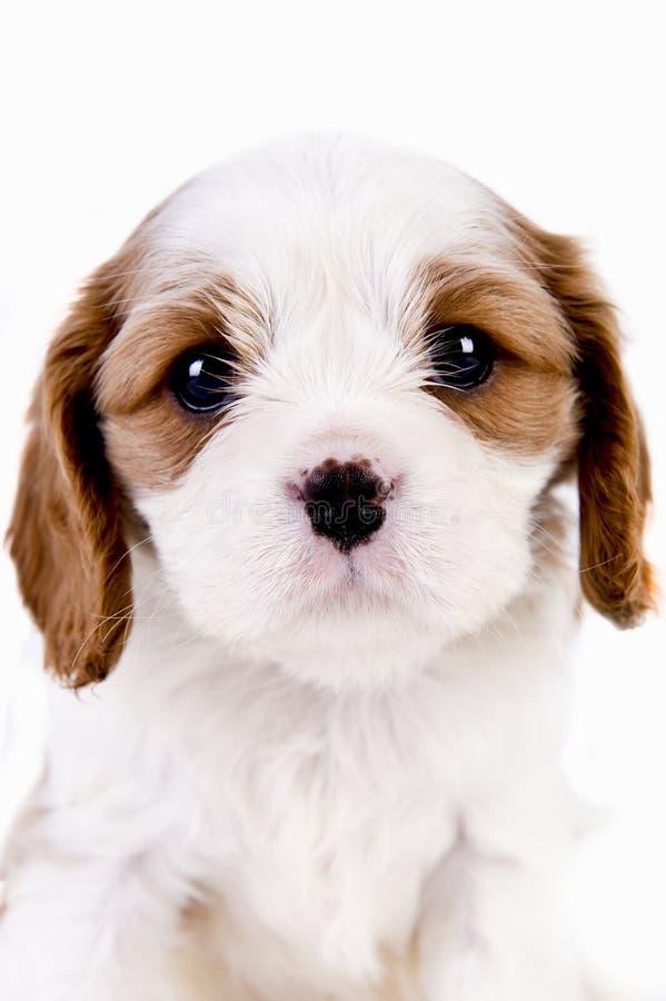 Het puppy van Blenheim royalty-vrije stock foto's