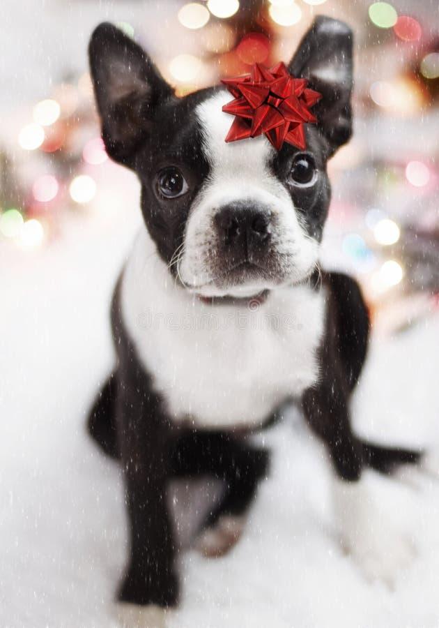 Het Puppy van Boston Terrier stock fotografie