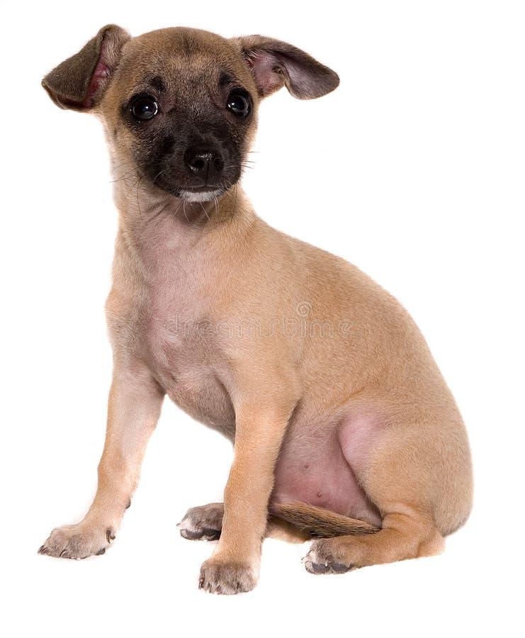 Het Puppy van Chihuahua royalty-vrije stock afbeelding