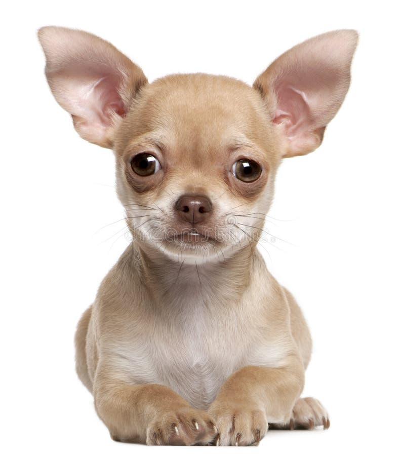 Het puppy van Chihuahua, 2 maanden oud, het liggen stock foto's