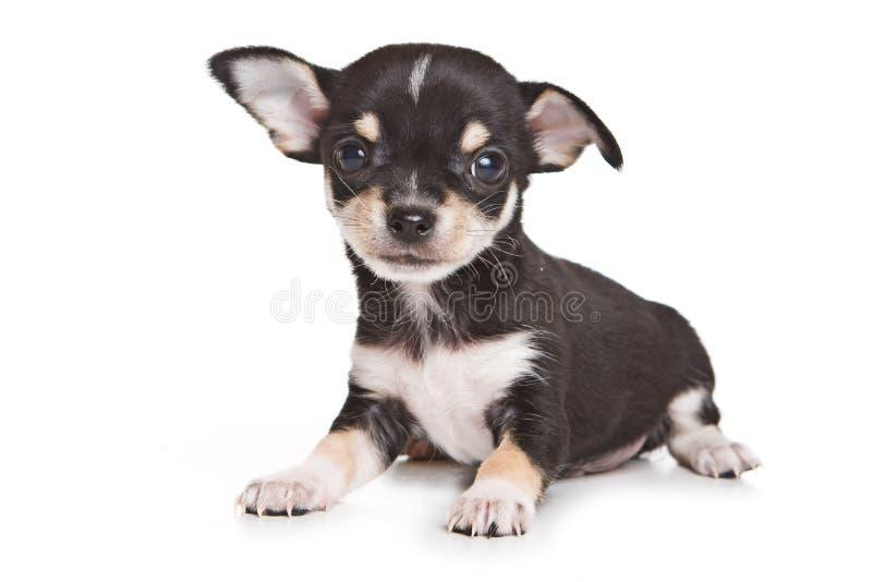 Het puppy van Chihuahua royalty-vrije stock fotografie