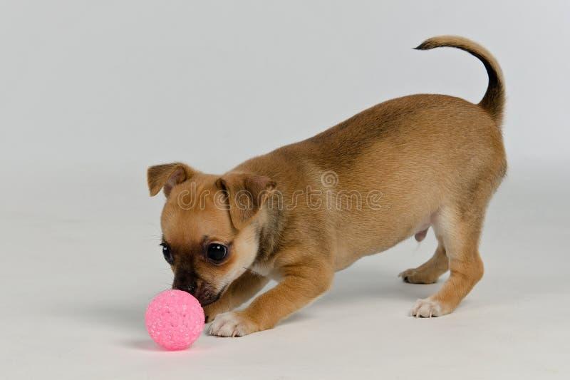 Het puppy van Chihuahua het spelen met bal royalty-vrije stock foto's