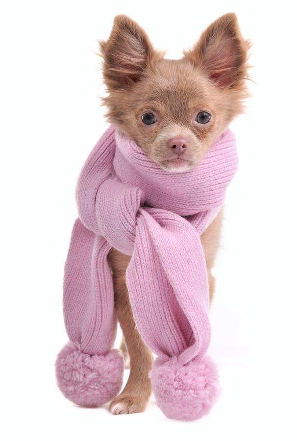 Het puppy van Chihuahua met betoverende roze sjaal royalty-vrije stock foto's