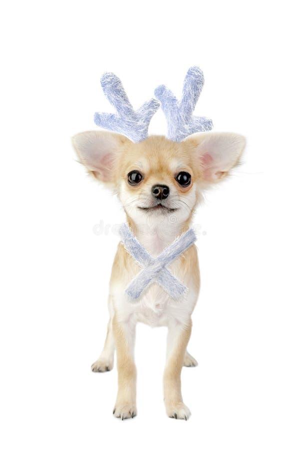 Het puppy van Chihuahua met geweitakken als rendier van Kerstmis stock afbeelding