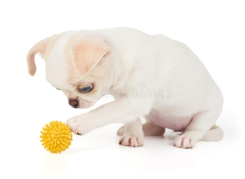 Het puppy van Chihuahua raakt de bal royalty-vrije stock afbeelding