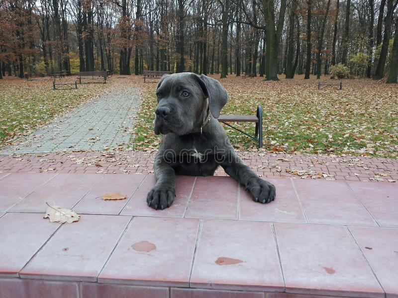 Het Puppy van Corso van het riet stock afbeelding