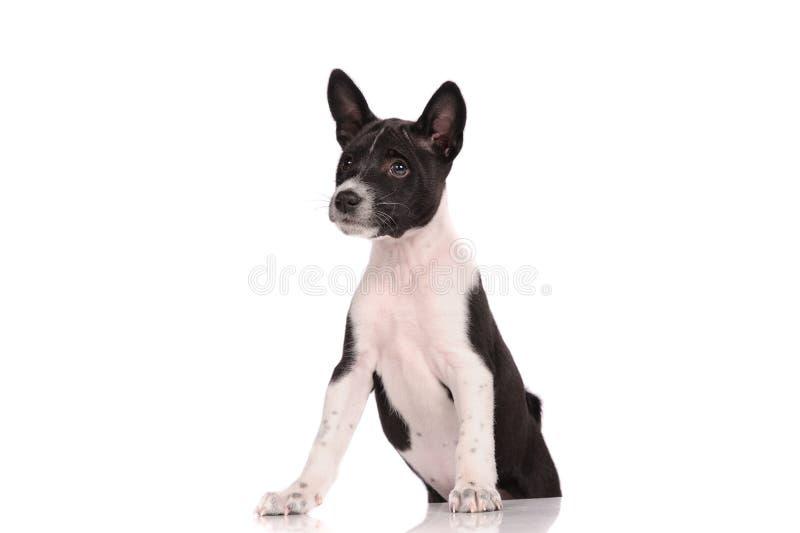 Download Het Puppy Van De Basenjihond Stock Afbeelding - Afbeelding bestaande uit awaiting, voorzijde: 39106931