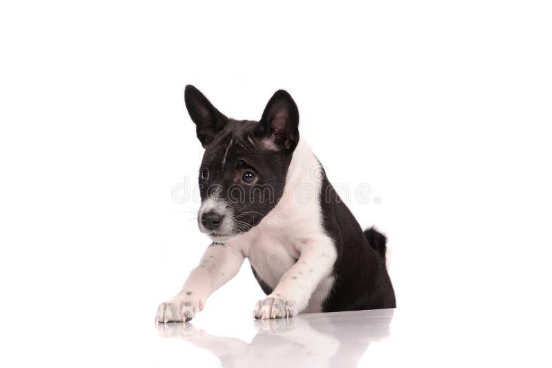 Download Het Puppy Van De Basenjihond Stock Afbeelding - Afbeelding bestaande uit achtergrond, zwart: 39106933