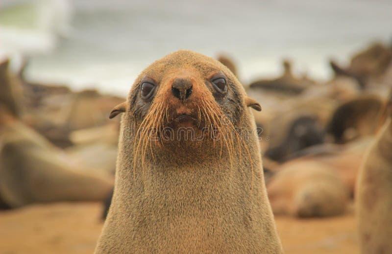 Het puppy van de bontverbinding op het strand van de Atlantische Oceaan stock afbeeldingen