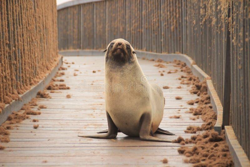 Het puppy van de bontverbinding op het strand van de Atlantische Oceaan stock afbeelding