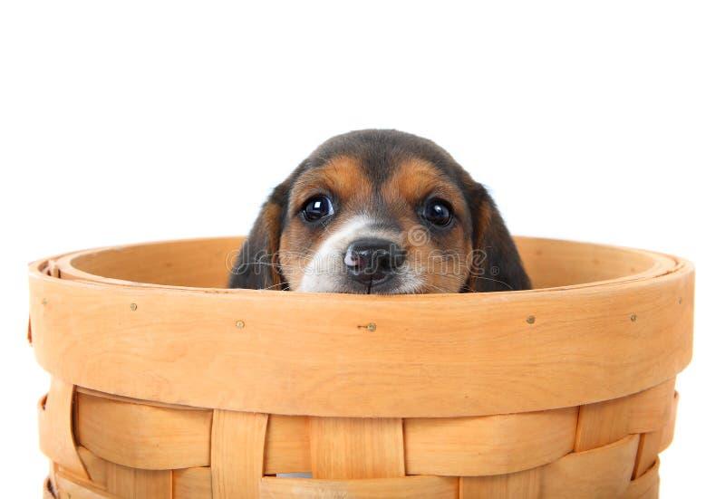 Het puppy van de brak in een mand stock foto