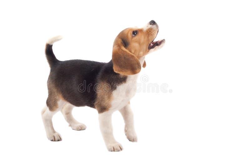 Het puppy van de brak het ontschorsen royalty-vrije stock fotografie