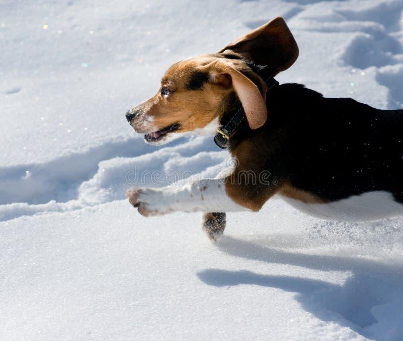 Het puppy van de brak in sneeuw royalty-vrije stock afbeelding